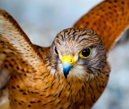 Hawk - Bird「Rock Kestrel spreading it's wings, South Africa」:スマホ壁紙(11)