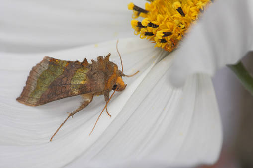 Cosmos Flower「Burnished Brass (Diachrysia chrysitis) Moth」:スマホ壁紙(11)