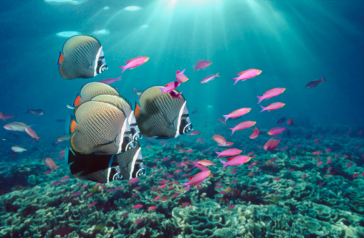 Shallow「Red-tailed butterflyfish (Chaetodon collare) with Purple anthias」:スマホ壁紙(8)