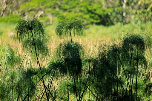 オアフ島「Papyrus plants grow in Waipio Valley, Hawaii」:スマホ壁紙(19)
