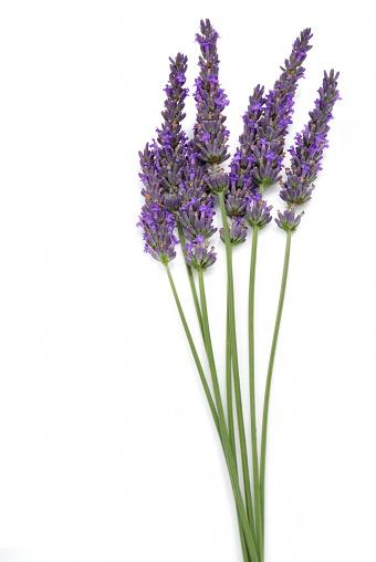 Lavender Color「Seven stalks of isolated lavender on a white background」:スマホ壁紙(17)