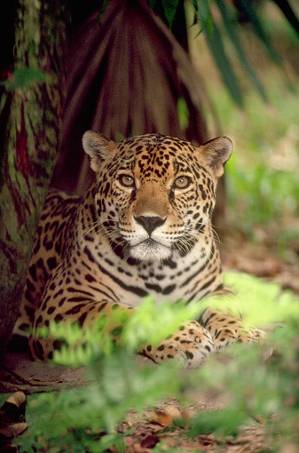 Central America「Jaguar」:スマホ壁紙(10)