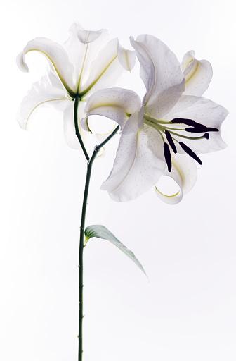Stamen「White Lily」:スマホ壁紙(14)