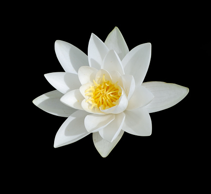 Water Lily「White Lily with yellow center isolated on black」:スマホ壁紙(17)