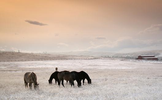 Mustang - Wild Horse「Horses Grazing in Winter」:スマホ壁紙(16)