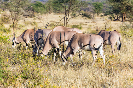 Gemsbok「Gemsbok antelope」:スマホ壁紙(9)