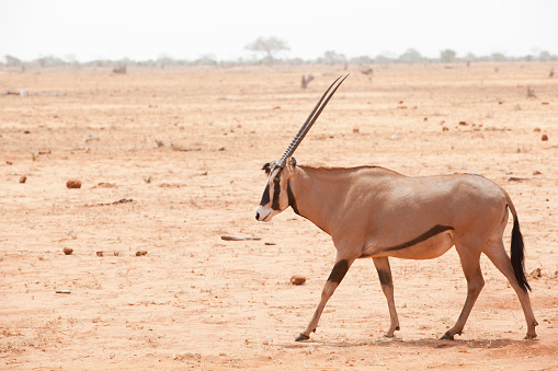 Gemsbok「Gemsbok antelope」:スマホ壁紙(11)