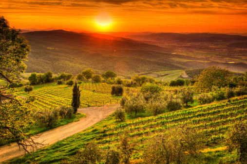 Italian Cypress「Tuscany Landscape with Vineyards at Sunset, Chianti Region, Val d'Orcia」:スマホ壁紙(7)