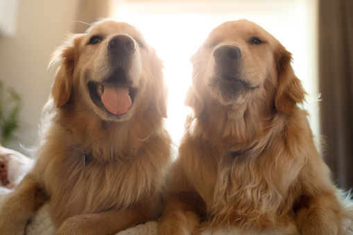 Pets「Two cute smiling golden retriever dogs」:スマホ壁紙(18)