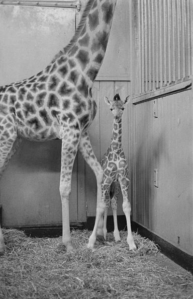 Giraffe「John The Giraffe」:写真・画像(19)[壁紙.com]