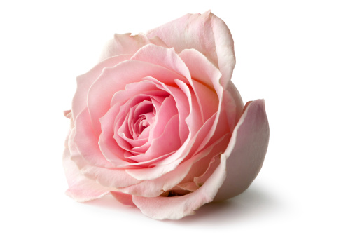 Pink Color「Flowers: Rose Isolated on White Background」:スマホ壁紙(17)
