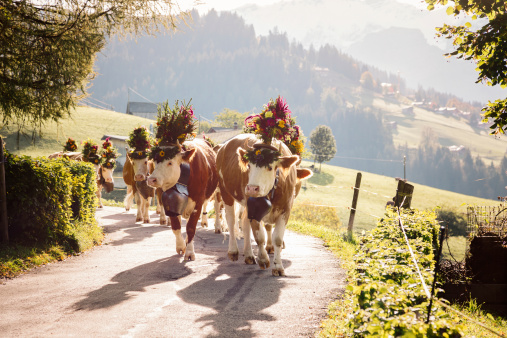 Agricultural Fair「Back Lit Decorated Cows on Swiss Alpine Road」:スマホ壁紙(11)