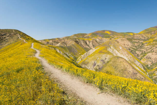 Footpath on hill among yellow wildflowers,CarrizoPlain National Monument, California, USA:スマホ壁紙(壁紙.com)