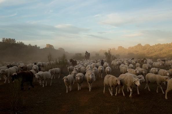 Sheep「Autumn Sheep's Transhumance in Spain」:写真・画像(15)[壁紙.com]