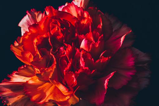 カーネーション「Red dianthus caryphyllus vintage style against a black background. Flower art.」:スマホ壁紙(13)