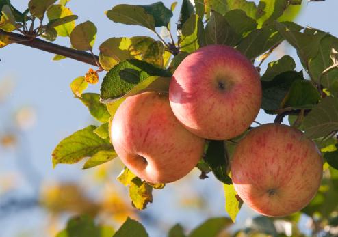 リンゴ「リンゴのブランチ」:スマホ壁紙(14)