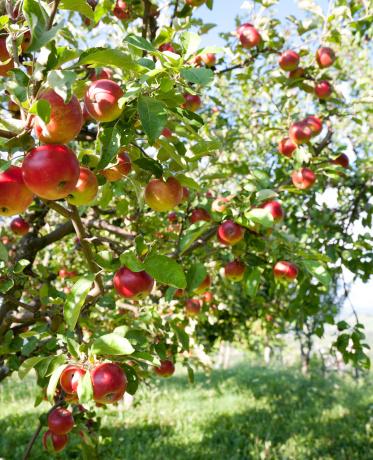 Apple Tree「Apples On Branch」:スマホ壁紙(2)