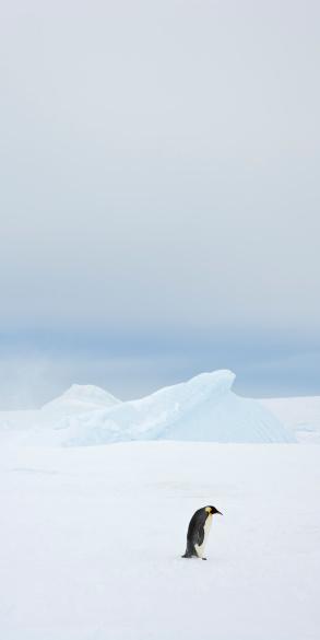 Weddell Sea「Lone Emperor Penguin (Aptenodytes forsteri) at Snow Hill Island, Weddell Sea, Antarctica」:スマホ壁紙(16)