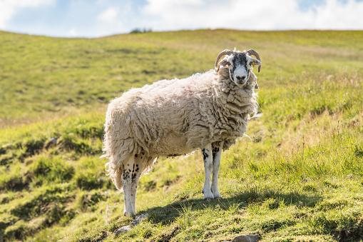 Ewe「Sheep standing in field」:スマホ壁紙(9)