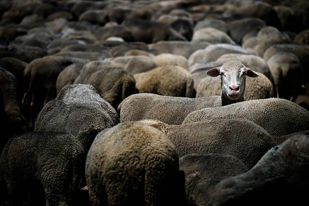Sheep standing out:スマホ壁紙(壁紙.com)