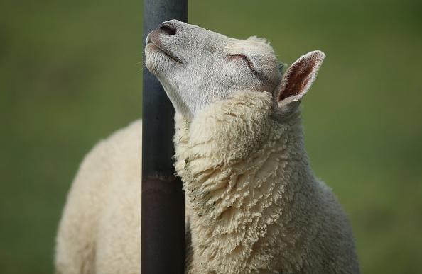 Sheep「Travel Destination: North Sea Coast Of Germany」:写真・画像(3)[壁紙.com]