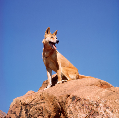 1990-1999「Australian dingo sitting on rock, Northern Territory」:スマホ壁紙(9)