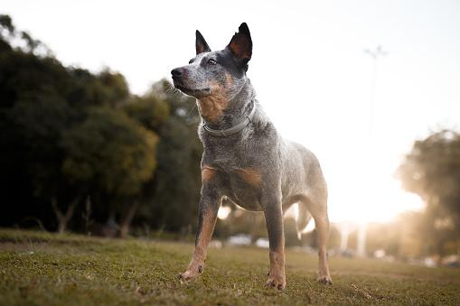 Dog Agility「Australian cattle dog portrait」:スマホ壁紙(12)