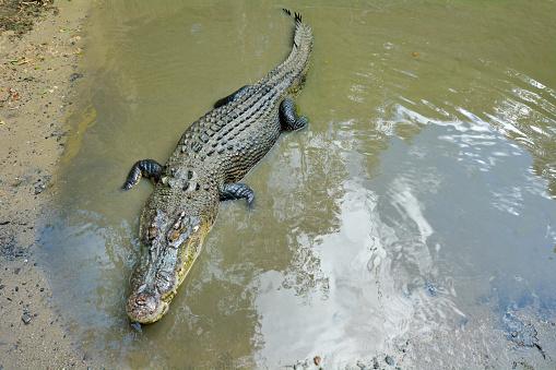 Animals Hunting「Australian Saltwater Crocodile in Queensland Australia」:スマホ壁紙(14)