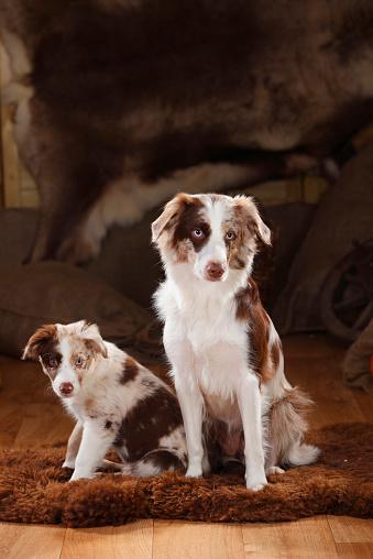 Female Animal「Australian Shepherd, bitch and puppy, red-merle」:スマホ壁紙(7)