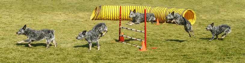 Hurdle「Australian Stumpy Tail Cattle Dog Doing Agility」:スマホ壁紙(12)