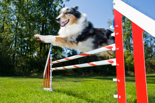 Dog Agility「Australian Shepard flying over agility jump」:スマホ壁紙(17)