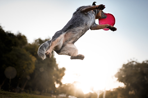 Canine「Australian cattle dog catching frisbee disc」:スマホ壁紙(6)