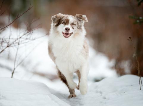 Happiness「Australian Shepherd playing outside in the Snow」:スマホ壁紙(8)