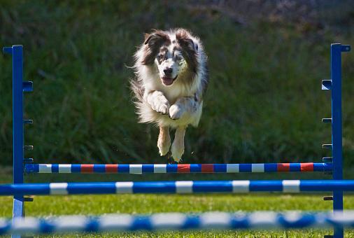 Hurdle「Australian Shepherd Jumping Hurdle」:スマホ壁紙(7)