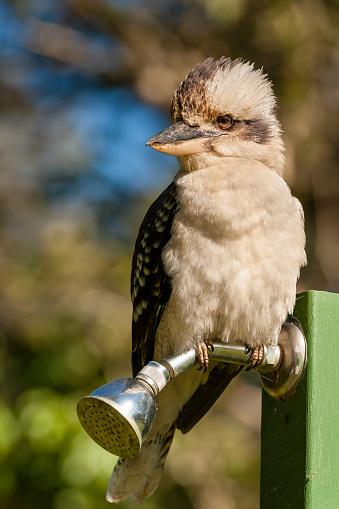 Birds「Australian Laughing Kookaburra (Dacelo novaeguineae)」:スマホ壁紙(18)