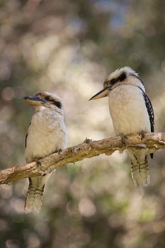 Birds「Australian Laughing Kookaburra (Dacelo novaeguineae)」:スマホ壁紙(17)