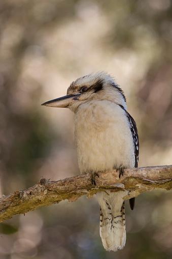 Birds「Australian Laughing Kookaburra (Dacelo novaeguineae)」:スマホ壁紙(19)