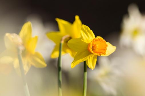 水仙「Daffodils, Narcissus pseudonarcissus, at sunlight」:スマホ壁紙(18)