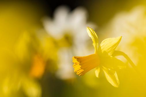 水仙「Daffodils, Narcissus pseudonarcissus, at sunlight」:スマホ壁紙(19)