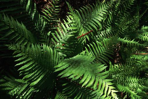 Ocala National Forest「Cinnamon Fern」:スマホ壁紙(13)