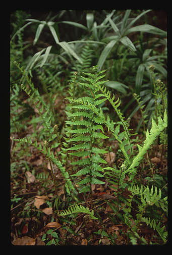 Ocala National Forest「Cinnamon Fern」:スマホ壁紙(14)