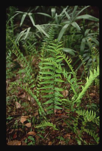 Ocala National Forest「Cinnamon Fern」:スマホ壁紙(9)