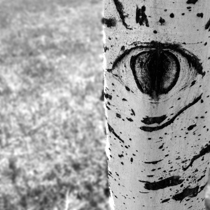 Aspen Tree「USA, Colorado, Larimer County, Fort Collins, Detail of Aspen Tree」:スマホ壁紙(5)