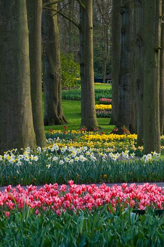 Keukenhof Gardens「Spring woodland garden with tulips (Tulipa) and daffodils (Narcissus), Keukenhof, Lisse, Holland」:スマホ壁紙(16)