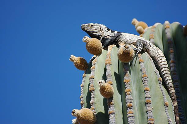 San Esteban spiny-tailed iguana, Ctenosaura conspicuosa:スマホ壁紙(壁紙.com)