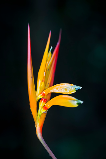 Heliconia「Peru, Manu National Park, blossom of Peru Heliconia」:スマホ壁紙(6)