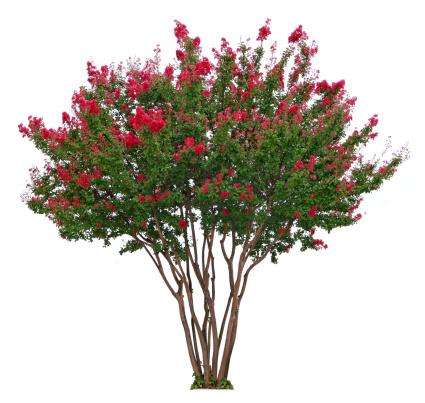 Single Tree「Crepe Myrtle」:スマホ壁紙(5)