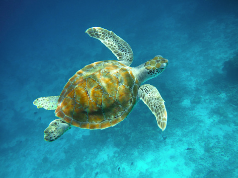 Green Turtle「Juvenile green turtle swimming above coral reef, Maldives.」:スマホ壁紙(14)