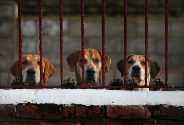 Anticipation「Kennels Prepare Their Dogs For The Start Of The Fox Hunting Season」:写真・画像(14)[壁紙.com]
