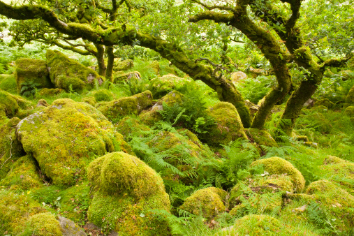 Grove「Black-a-Tor copse, rare relict example of ancient high-level woodlands on Dartmoor, England, United kingdom, UK, Europe」:スマホ壁紙(7)